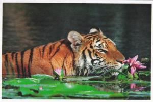 tigre oct 2015